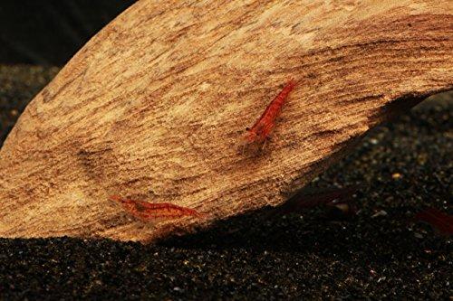 50-Cherry-Shrimp-Neocaridina-13-12-2-Marimo-Moss-Balls-0-0