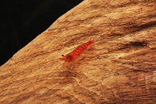 50-Cherry-Shrimp-Neocaridina-13-12-2-Marimo-Moss-Balls-0-1